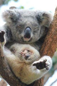 KoalaMumJoey