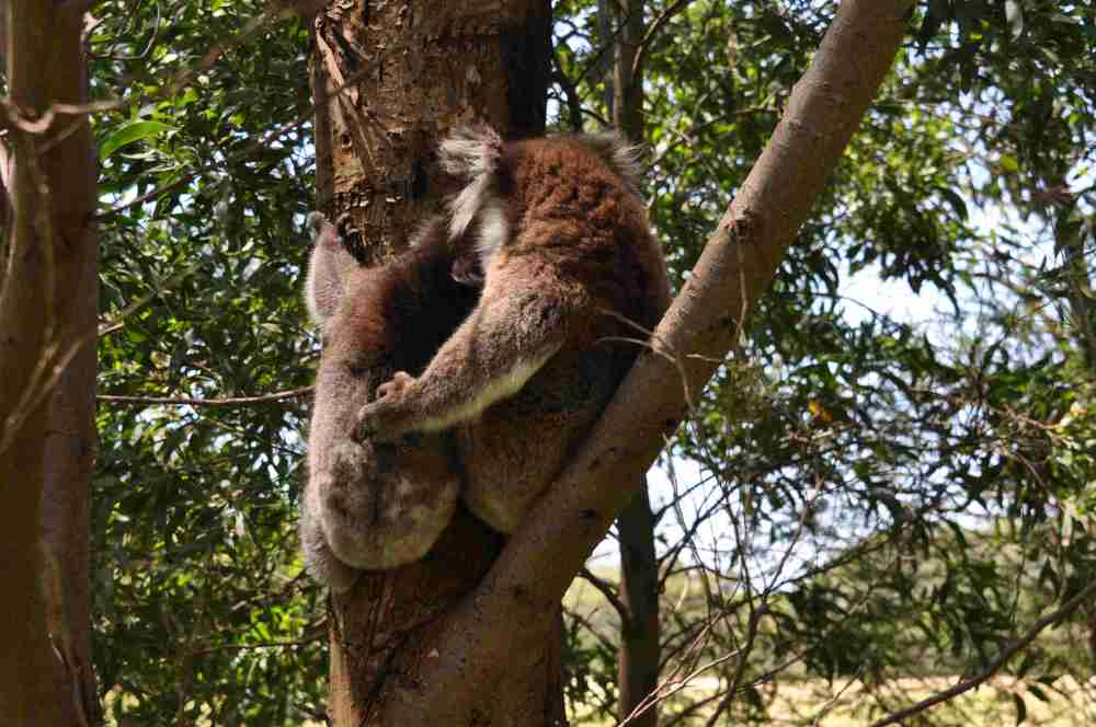 Latest about ZKS Koala research project  by Dr. Manuelle Cottin at the CEC, Cape Otway, Australia  (5/6)