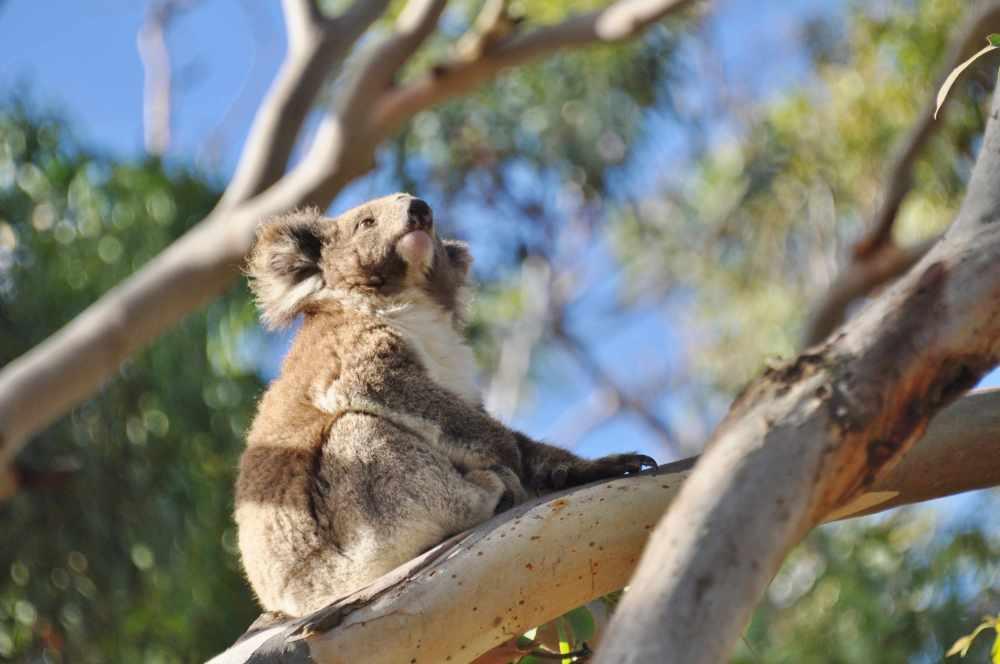 Latest about ZKS Koala research project  by Dr. Manuelle Cottin at the CEC, Cape Otway, Australia  (4/6)