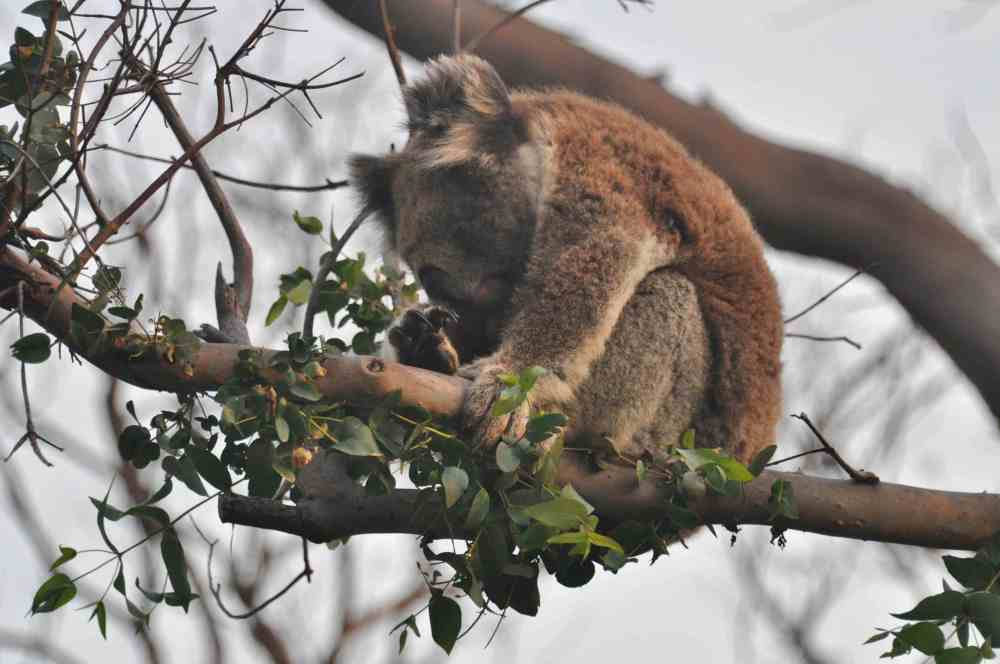 Latest about ZKS Koala research project  by Dr. Manuelle Cottin at the CEC, Cape Otway, Australia  (2/6)