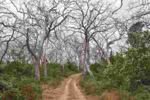 Dying Eucalyptus forest