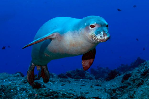 The Hawaiian monk seal is critically endangered. Kent Backman, CC BY-SA