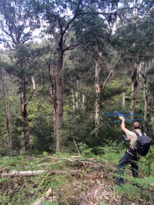 Koala-tracking-in-the-Otways-Amy-Smith-225x300
